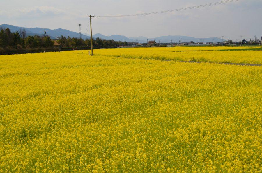 見奈良菜の花まつりの菜の花畑の様子(東温市レスパスシティ)