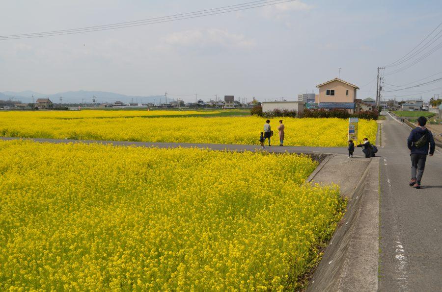 菜の花畑,見奈良