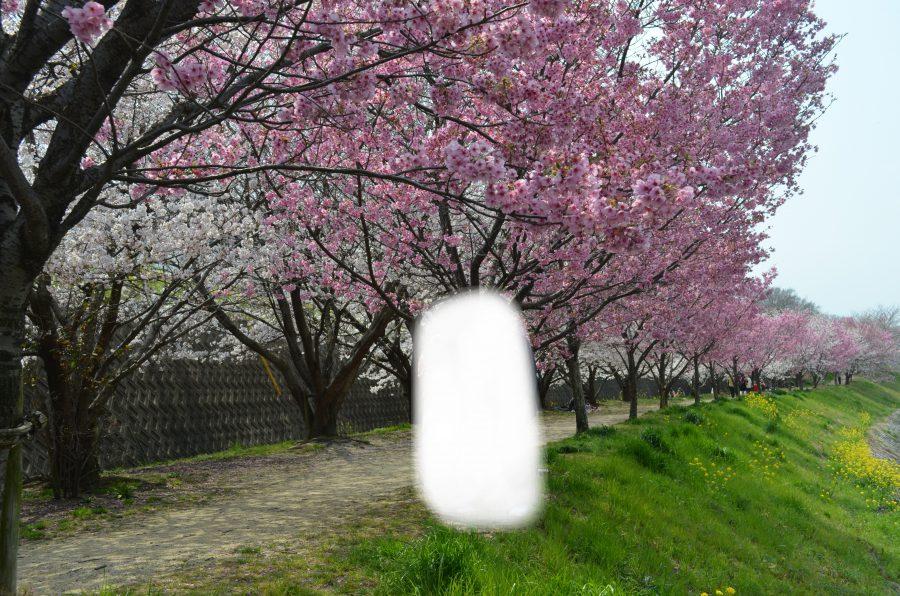 お花見,松山,石手川