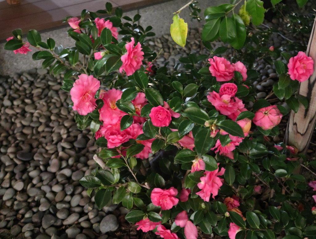 飛鳥乃湯の前にある椿の花