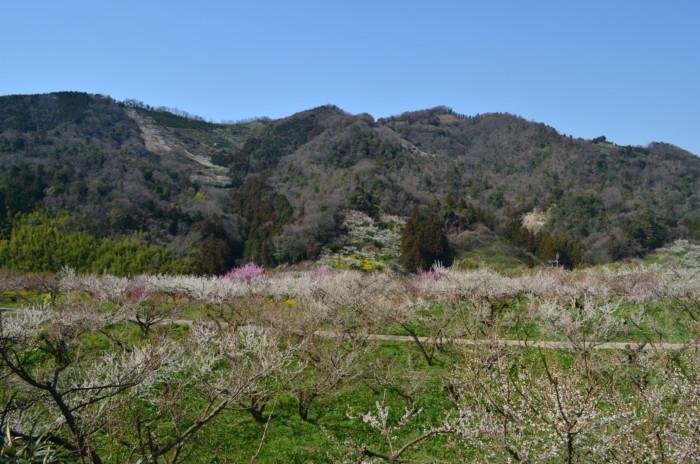 七折梅まつりの梅の木の様子