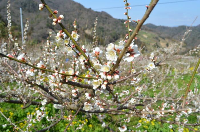 七折梅まつりの白い梅の花