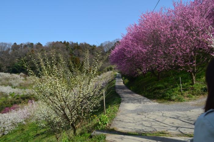 七折梅まつりの梅の並木道