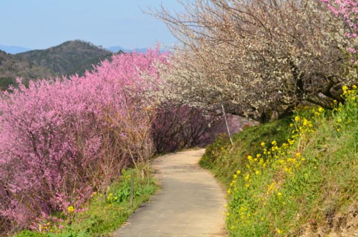 七折梅まつりの梅と菜の花の並木道