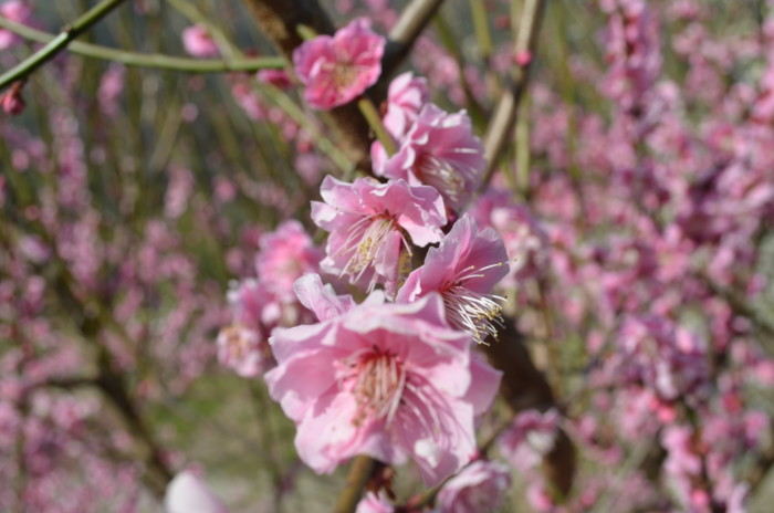 七折梅まつりのピンク色の梅