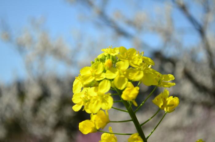 七折梅まつりの菜の花