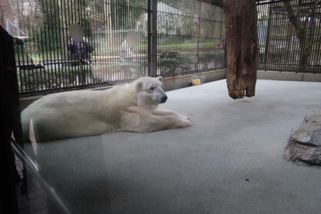 とべ動物園のしろくまピースの横顔