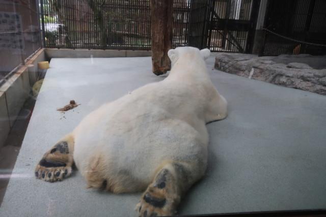 とべ動物園のしろくまピースのお尻