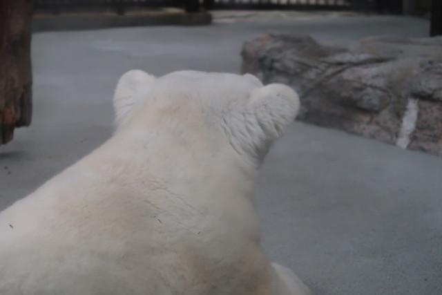 とべ動物園のしろくまピースの頭