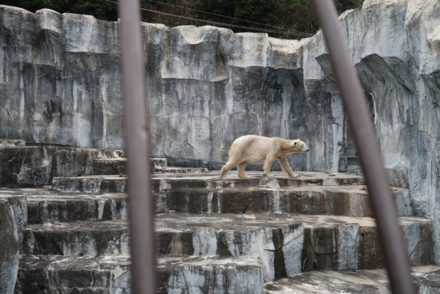 とべ動物園のしろくまピースが歩く様子