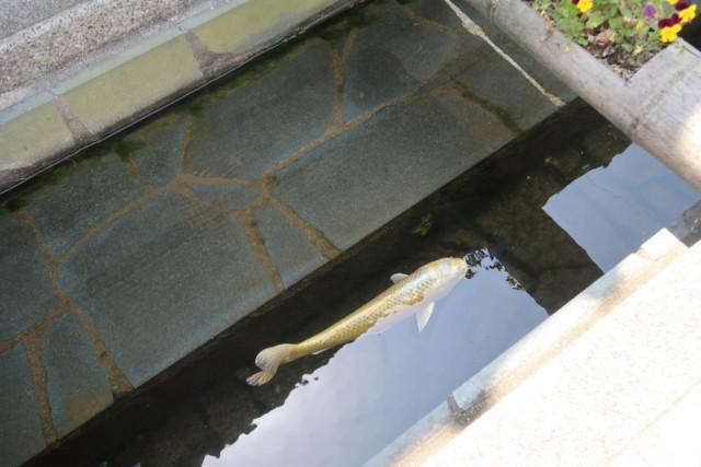 おはなはん通りの水路の鯉