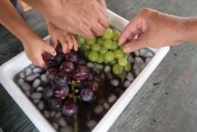 福岡ぶどう園,内子,ぶどうを食べる様子